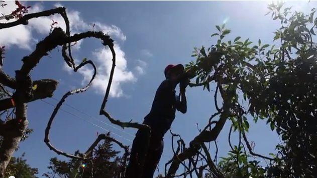 A man picks khat in Kenya in an AFP video. (Screenshot/YouTube)