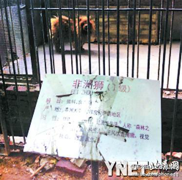 """The Tibetan mastiff said to be an """"African lion"""" at a zoo in China. (Weibo.com)"""