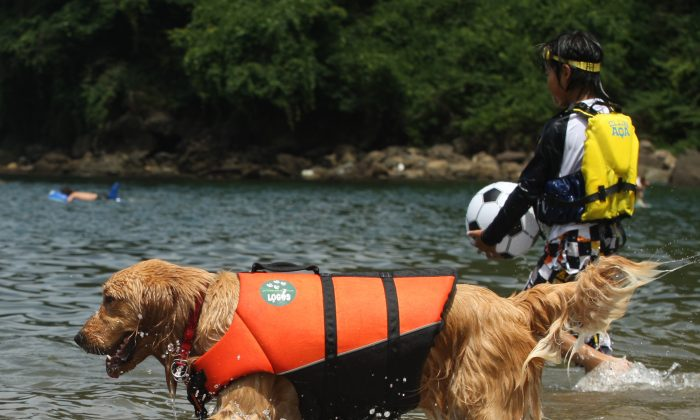 A pet dog wears life jacket and bathes in the water at Takeno Beach in Toyooka, Japan, on Aug. 4, 2013. (Buddhika Weerasinghe/Getty Images)