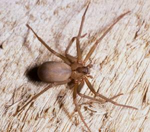 A brown recluse spider. (University of California, Riverside)