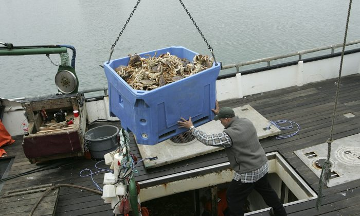 In this file photo a fisherman guides a bucket full of Dungeness Crab from his boat on Fisherman's Wharf in San Francisco, California. (Justin Sullivan/Getty Images)