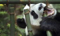 Jia Jia, Giant Panda Singapore Zoo