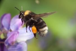 Bumblebee Mount Hood: A Dozen Rare Bumblebees Found in Oregon National Forest (+Video)