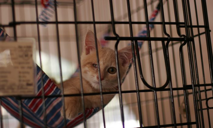 A kitten inside a cage in an air-conditioned tent at the Adoptapalooza pet adoption event at Union Square, New York City, in this file photo. (Ivan Pentchoukov/Epoch Times)