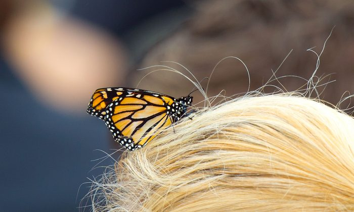 A released monarch butterfly. (Marty Melville/AFP/Getty Images)
