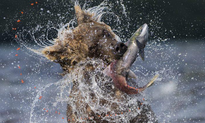 Sockeye Catch   (Valter Bernardeschi/Wildlife Photographer of the Year)