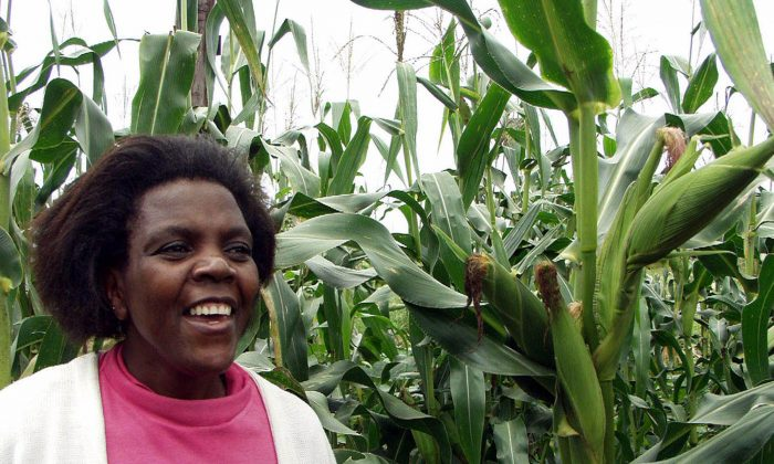 Fridah Sichalwe in her non-GMO maize field in Chibombo, 56 miles north of Lusaka, Zambia, in this 2003 file photo. Genetically modified foods have been banned in Zambia since 2002. (AP Photo/Salim Henry)