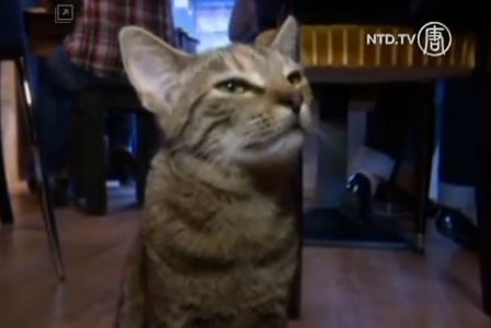 A cat in Cafe des Chats in Paris, France. (Screenshot/NTD TV)