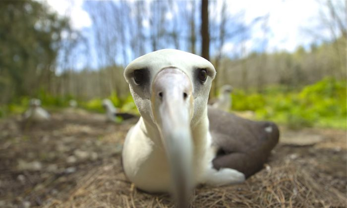 """Filmmakers Chris Jordan and Sabine Emiliani tell the beautiful and desperate tale of Midway Atoll's albatross in the creative documentary """"Midway."""" (Courtesy of TIFF)"""