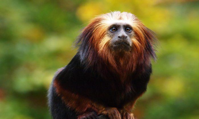 Lion Tamarin (Shutterstock*)