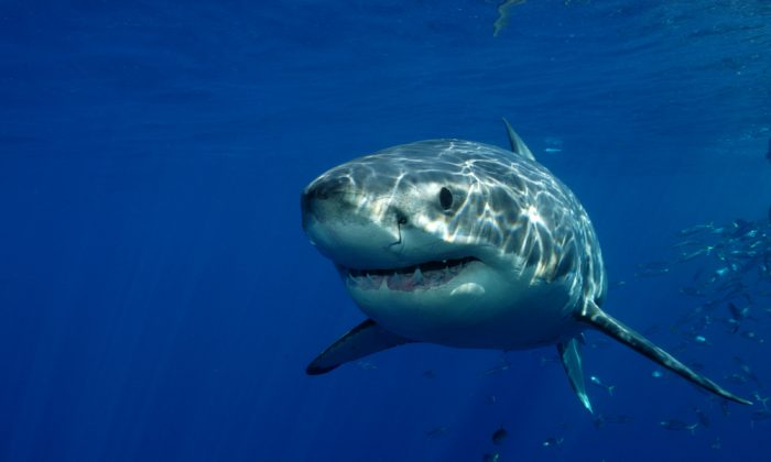 Great White Shark. The largest and most dangerous predatory fish, the great white can weigh up to 2,450 pounds. (Shutterstock)