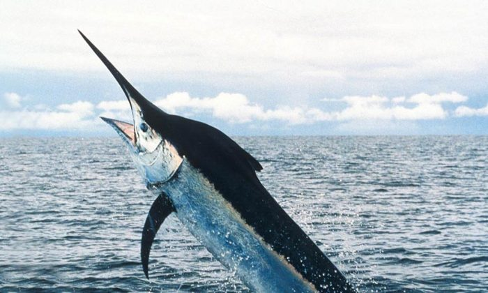 A stock photo of a swordfish (National Oceanic and Atmospheric Administration)