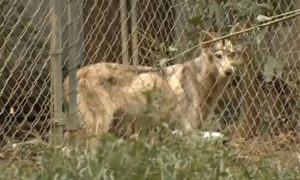 Patricia Ritz May Have Been Eaten by Her Own Wolf-Dogs
