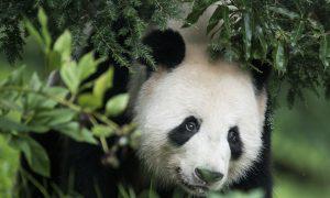 Better Than Ping Pong: Panda Diplomacy Builds Relationships