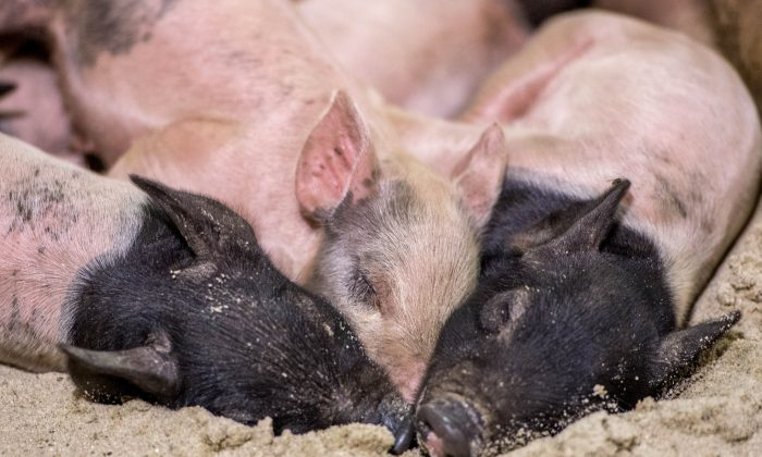 Piglets take a nap during the Los Angeles County Fair 2013 in Pomona, California on Sept. 4, 2013. Former Deputy Secretary Liu Yun of the Changsha Municipal People's Congress compared Chinese Communist Party officials to pigs in a pig sty. (Joe Klamar/AFP/Getty Images)