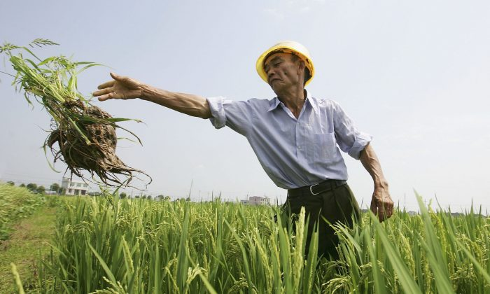 A Chinese farmer works at a hybrid rice planting field on June 20, 2006 in Changsha city, Hunan Province. The Chinese Ministry of Agriculture has done experiments on transgenic rice on animals, and experts now propose that the authorities push forward the industrialization of transgenic rice. (Guang Niu/Getty Images)