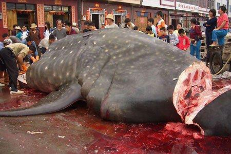 This photo shows the most dangerous species on the planet. The other animal is the harmless whale shark, largest fish in the sea.