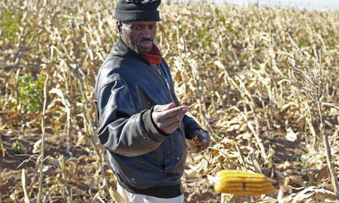 A farmer picks maize in a field near the house and birth place of former South African President Nelson Mandela in Qunu, South Africa, Wednesday, June 12, 2013. Much of the maize in the country is now genetically modified. (AP Photo/Schalk van Zuydam)
