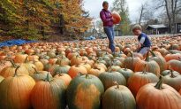 Selecting from hundreds of pumpkins