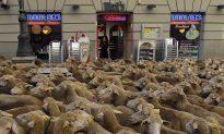 Spain Sheep Crossing