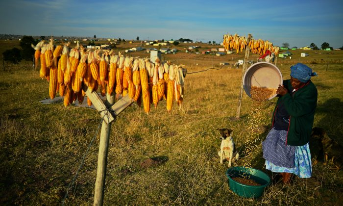 GMOs, A Global Debate: South Africa, Top GMO-Producer in Africa