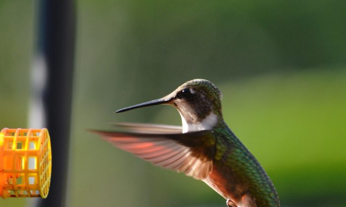Flight to feeder of a female ruby-throated hummingbird, which is common in the United States and Canada. This photo was taken in Baton Rouge, La., on Sept. 23, 2013. (Cat Rooney/Epoch Times)