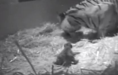Sumatran tiger Melati and her cub in footage taken before the cub drowned on, which was confirmed on Oct. 13, 2013. (Screenshot/YouTube)