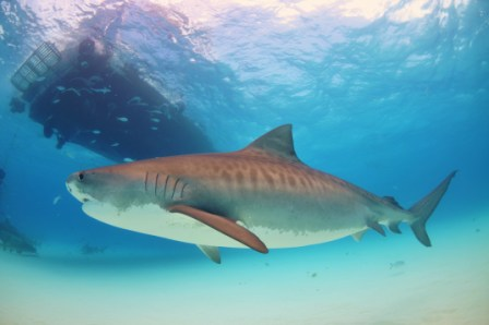 A large tigershark circles a boat. Many of these sharks are now caught and killed only for 'sport'.