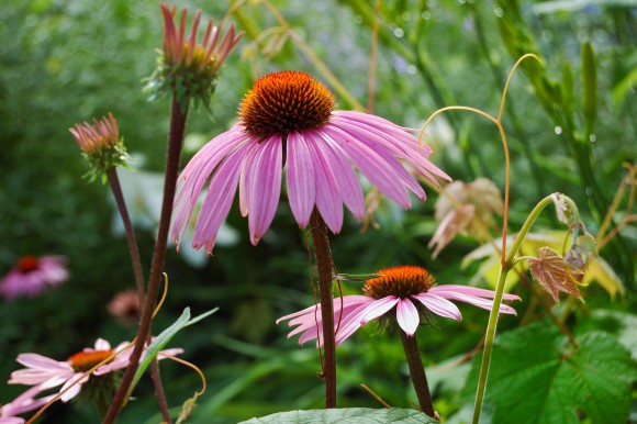 Echinacea (Cat Rooney/The Epoch Times)