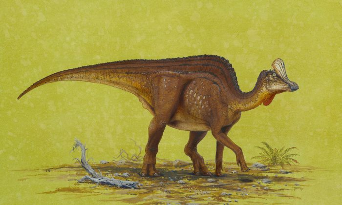A dinosaur fossil found in Alberta, Canada has been identified as belonging to a hadrosaur, a group of dinosaurs that lived in the Late Cretaceous period, between 70 million and 65 million years ago. This rendering is of a  Velafrons coahuilensis, which is part of the hadrosaur grouping. (Utah Museum of Natural History at the University of Utah)