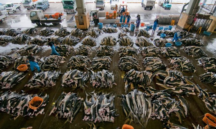 Tens of thousands of sharks are now being killed every hour of the day. Photo by Shawn Heinrichs.