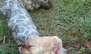 Snake Eats Dog on LiveLeak Video (Potentially Disturbing Content)