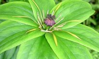Medicinal Herb: Paris Polyphylla