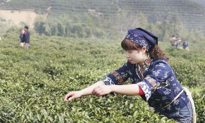 A migrant tea picker plucks tea leaves on the first day of the Dragon Well Tea Festival at the Longwu Township, famous for its top-grade dragon well tea March 22, 2007 in the outskirts of Hangzhou of Zhejiang Province, China.  (China Photos/Getty Images)