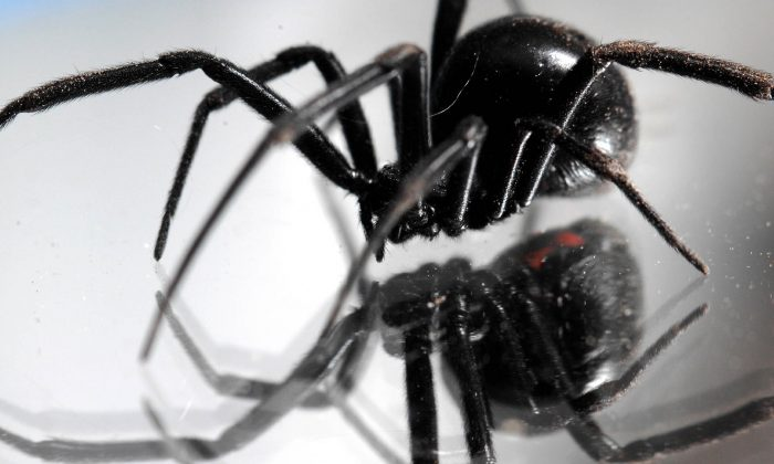 Black widows have been found in grapes in five states recently. Here, one walks on a mirror in Montana in a file photo. (AP Photo/Great Falls Tribune, Robin Loznak)