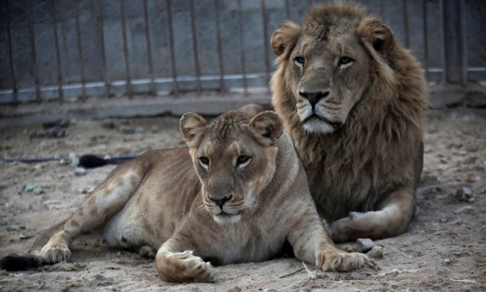A pair of African lions, rest at Besan Zoo in Beit Lahiya, northern Gaza Strip, on Nov. 19, 2013. (AP Photo/Hatem Moussa)