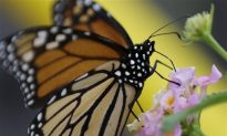 Experts Believe Fewer Monarchs through South Texas