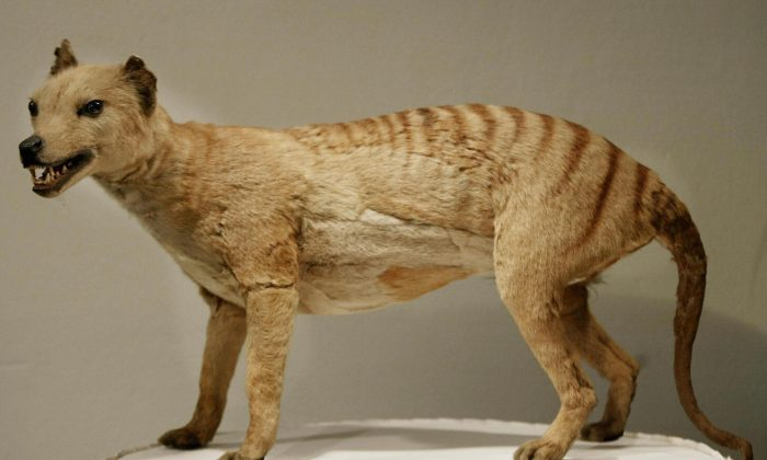 Tasmanian tiger (Thylacine), which was declared extinct in 1936, is displayed at the Australian Museum in Sydney, file photo. However, there have been reported sightings this decade, suggesting that they may still exist. (Torsten Blackwood)