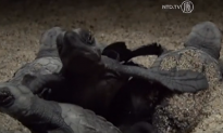 Thousands of Newborn Turtles Scurry Over Mexican Beaches (Video)