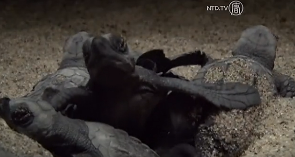 Newly hatched Olive Ridley turtles in Mexico. (Screenshot/NTD Television)