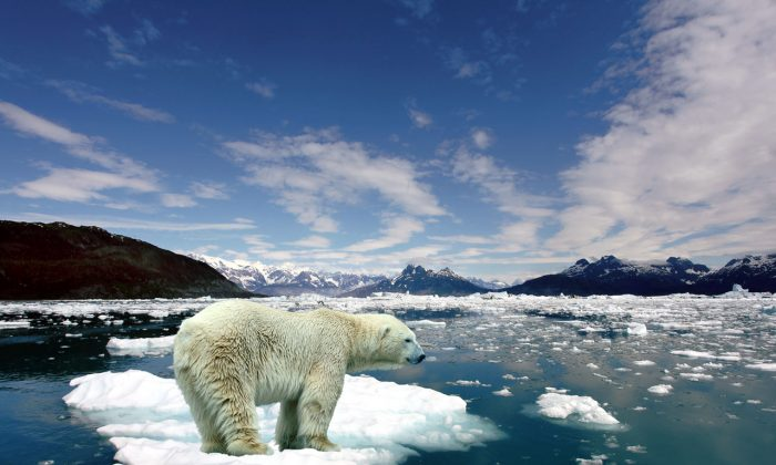 As the Arctic ice cap shrinks the entire ecology of this fragile part of the world is shifting. Polar bears face an uncertain future as their habitat literally melts away.