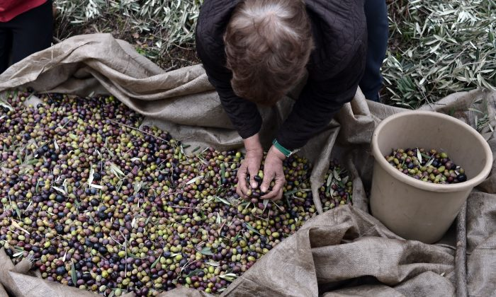 Collecting olives for olive oil near the village of Milies, central Greece, in this file photo from Jan. 5, 2013. (Louisa Gouliamaki/AFP/Getty Images)