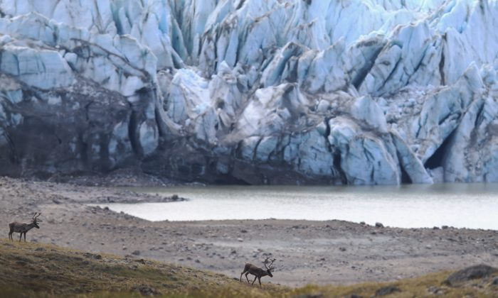 Caribou walk in the foreground of a glacier on July 12, 2013 in Kangerlussuaq, Greenland.  As the sea levels around the globe rise, researchers affilitated with the National Science Foundation and other organizations are studying the phenomena of the melting glaciers and its long-term ramifications. (Joe Raedle/Getty Images)