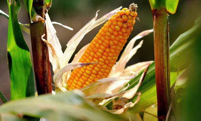 Corn grows in a field in Godewaersvelde, France, Sept. 28, 2012. Unlike equities, commodities are driven by real-world supply and demand, Douglas Hepworth said. (Philippe Huguen/AFP/GettyImages)