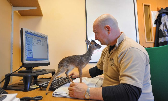 Chester Zoo Curator of Mammals Tim Rowlands, is hand-rearing Aluna, a tiny Kirk's Dik-dik, at home. He also takes the little animal to the office with him. (Chester Zoo)