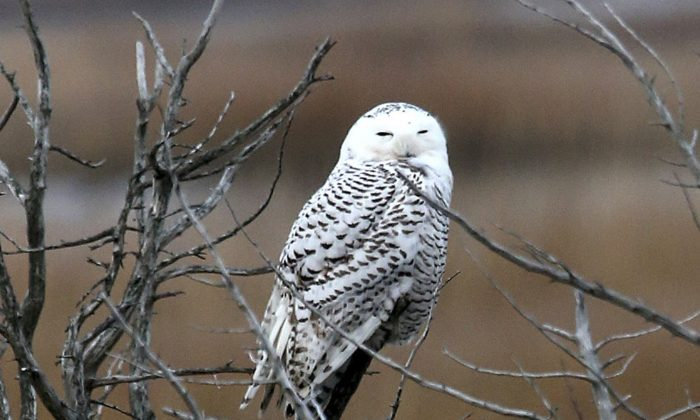 A snowy owl rests on a branch at the Edwin B. Forsythe National Wildlife Refuge in Galloway Township, N.J. Dec. 4, 2013. The Port Authority of New York and New Jersey says that over the past two weeks five planes at John F. Kennedy International, Newark Liberty International and LaGuardia airports have been struck by snowy owls. (AP Photo/The Press of Atlantic City, Vernon Ogrodnek, File)