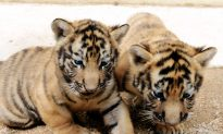 A Holiday Wish: More Wild Tigers