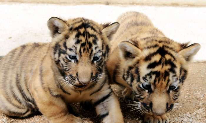 Two baby Amur tigers, also known as Siberian tigers, the world's largest living feline. Photo taken in Qingdao, in east China's Shandong province, Sept. 10, 2013. (STR/AFP/Getty Images)