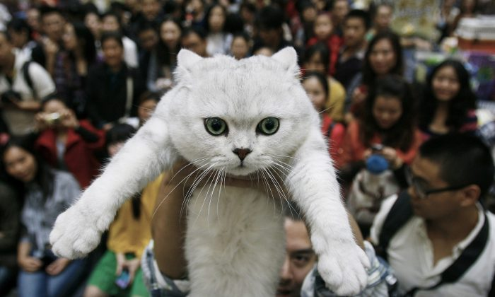 In this Saturday, Oct. 22, 2011 file photo, a man holds up his pet cat during a cat show in Wuhan in central China's Hubei province. In a report released Monday, Dec. 16, 2013 by the Proceedings of the National Academy of Science, scientists say they've caught cats in the act of going through a key stage in domestication, with the evidence in 5,300-year-old bones from China. The Chinese animals are not the ancestors of today's housecats, whose family tree reaches back to domestication in the Near East instead. But the work gives support for the leading theory of just how wild animals took the first steps toward becoming our familiar pets. (AP Photo, File)