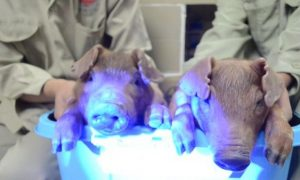 Chinese Scientists Make Glow-in-the-Dark Pigs